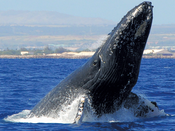 Oahu North Shore Whale Watching Tours