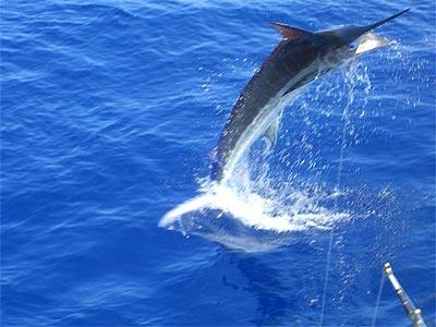 Intrepid sportfishing hawaii discount for Kona deep sea fishing