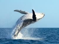 Navatek - Whale Watch Afternoon Cruise - Hawaii Discount