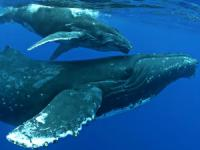 Body Glove - Afternoon Whale Watching Tour - Hawaii Discount