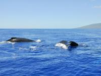 Hawaii Whale Watching Tours