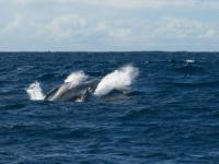kona whale watch