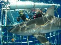 Oahu Shark Cage Diving Tours