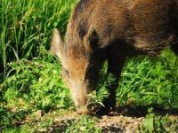 Lopaka's Aloha Adventures - Hog Hunting - Hawaii Discount