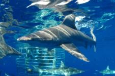 Hawaii Shark Cage Diving Tours