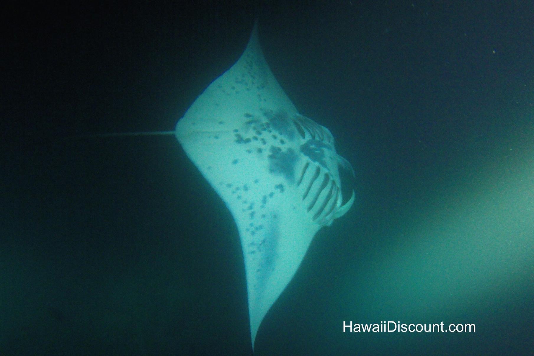 Manta Rays Kona Big Island Hawaii